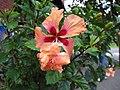 Hibiscus Orange El Capitolio (2).jpg