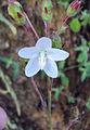 Hibiscus lobatus - Lobed Leaf Mallow 12.JPG