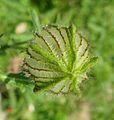 Hibiscus trionum 2.jpg