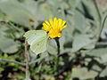 Hieracium tomentosum-IMG 5619.jpg