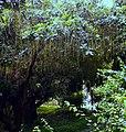 Hijal tree;national botanical garden Bangladesh.jpg