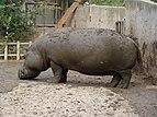 Hippopotamus amphibius.001 - Zoo Aquarium de Madrid.JPG