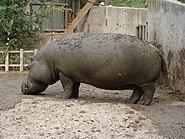 Hippopotamus amphibius.001 - Zoo Aquarium de Madrid