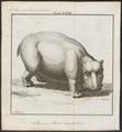 Hippopotamus amphibius - 1700-1880 - Print - Iconographia Zoologica - Special Collections University of Amsterdam - UBA01 IZ21900007.tif