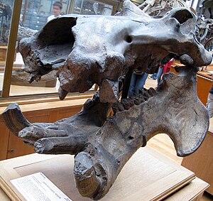 Hippopotamus major - Fossil Hippopotamus major skull