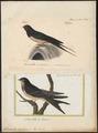 Hirundo rustica - 1700-1880 - Print - Iconographia Zoologica - Special Collections University of Amsterdam - UBA01 IZ16700133.tif