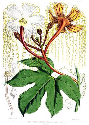 Cucurbitaceae - Hodgsonia male plant