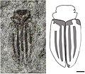 Holcoptera alisonae NHMUK In.59115 holotype and illustration.jpg