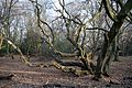 Hornbeam off Fairmead Road, High Beach, Essex.jpg