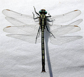 Horned-clubtail-on-shirt.jpg