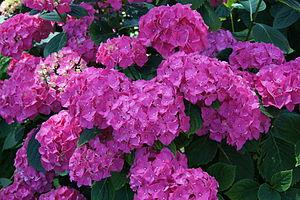 English: Hydrangea macrophylla cultivars, Parc...