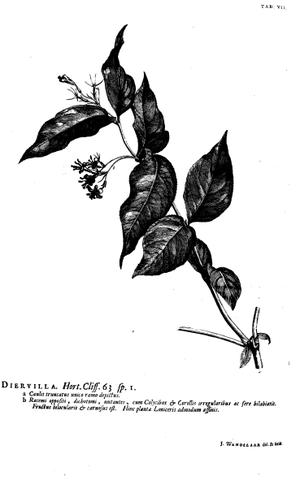 Diervilla - Image: Hortus Cliffortianus Diervilla