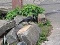 House crow-2-yercaud-salem-India.jpg