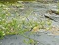 Houstonia nigricans.jpg