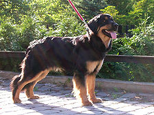 Hovawart black and tan.jpg