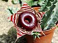 Huernia zebrina flower.jpg