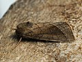 Hydraecia ultima (44441747802).jpg