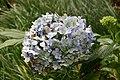 Hydrangea macrophylla 18zz.jpg