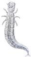 Hydrous piceus larva.png