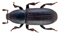 Hylastes ater (Paykull, 1800) (13452544214).png