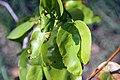 Hymenaea courbaril 6zz.jpg