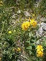 Hypericum richeri 001.jpg
