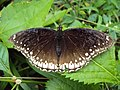 Hypolimnas bolina Linnaeus, 1758 – Great Eggfly female at Periya (4).jpg