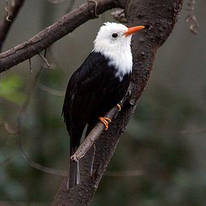 Black bulbul - White-headed morph of the nominate race