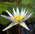 IMG 0265-3-Nymphaea × daubenyana.jpg