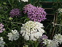 Iberis or Candytuft from lalbagh 2084
