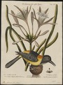 Icterus jamacaii - 1700-1880 - Print - Iconographia Zoologica - Special Collections University of Amsterdam - UBA01 IZ15800197.tif