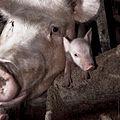 Igualdad Animal - Investigación Granjas Cerdos Toledo - 15-06-2010 - 17 (7138399377).jpg