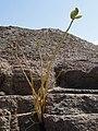 Ile d'Aswan - plantes poussent dans les pierres - panoramio.jpg