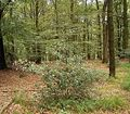 Ilex aquifolium 10 ies.jpg