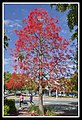 Illawarra Flame Tree in bloom-1 (6301607509).jpg