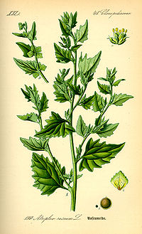 Illustration Atriplex rosea0