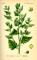 Illustration Atriplex rosea0.jpg