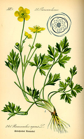 Illustration Ranunculus repens0.jpg