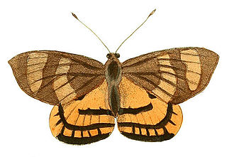 <i>Ceretes thais</i> species of insect