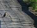 Im Schatten eines Zauns Phoenicurus.JPG