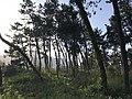 Imazu Pine Grove 2.jpg
