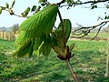 Immature horse chestnut leaves, Lydiard Park (2) - geograph.org.uk - 384280.jpg