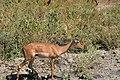 Impala, Tarangire National Park (5) (28638465581).jpg