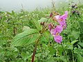 Impatiens sulcata - Gigantic Himalayan Balsam on way from Gangria to Valley of Flowers National Park - during LGFC - VOF 2019 (11).jpg