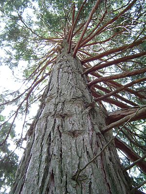 Klamath Mountains - California incense-cedar (''Calocedrus decurrens'')