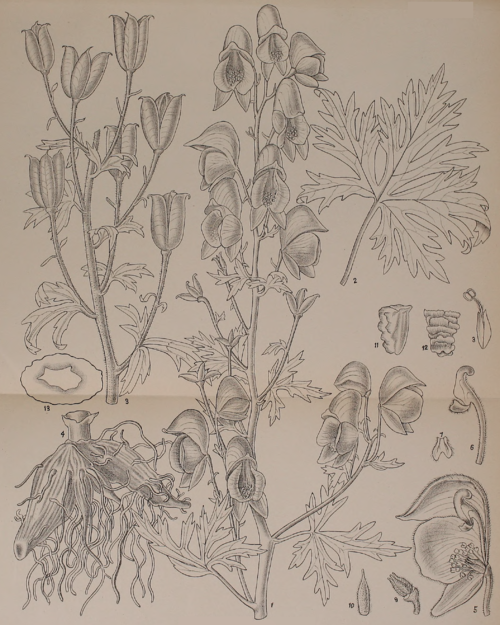 Indian Medicinal Plants - Plate 19 - Aconitum laciniatum.png