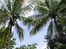 Pohon palem merupakan produen