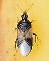 Insidious Flower Bug (Orius insidiosus) - Guelph, Ontario 2017-06-17 (01).jpg