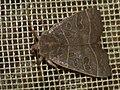 Ipimorpha subtusa - The Olive - Острокрылая совка тополёвая (27256793328).jpg