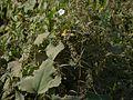 Ipomoea biflora (L.) Pers. (6323252986).jpg